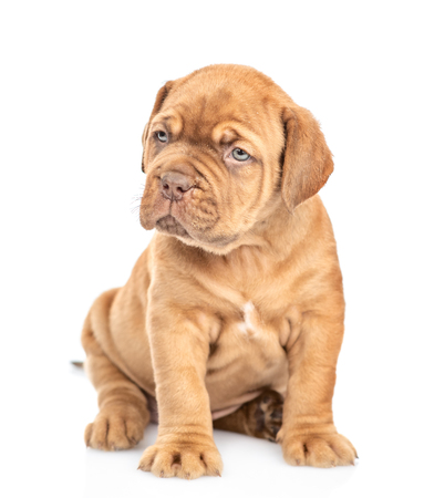 Neapolitana mastino puppy looking at camera. isolated on white background.