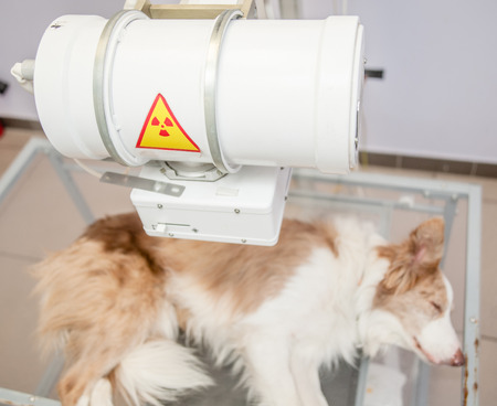 Puppy  dog receiving an x-ray at a veterinary clinic.