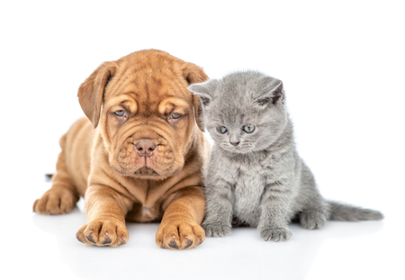 Puppy lying with funny kitten in front view looking down. isolated on white background. Stock Photo