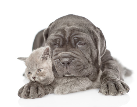 Sad black mastiff puppy embracing gray kitten. isolated on white background.