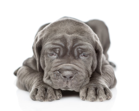 Sick neapolitan mastiff puppy lying and looking at camera. isolated on white background.