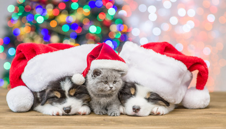 Australian shepherd puppies and baby kitten in red santa hats sleep together with Christmas tree on background.