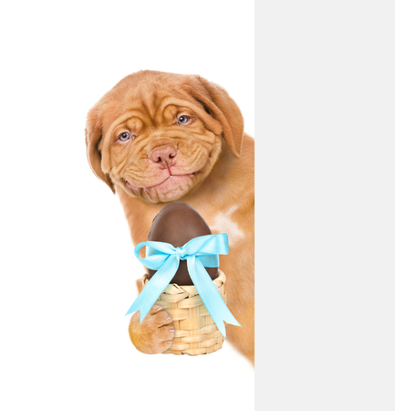 Puppy holding Easter basket with chocolate egg behind white banner. isolated on white background. Stock Photo