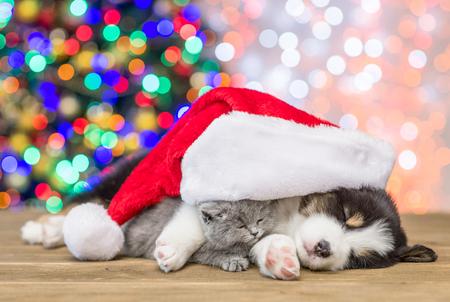 Sleepy australian shepherd puppy hugging kitten in red santa hat.