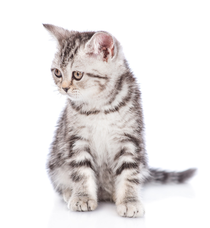 Scottish kitten looking away. isolated on white background.