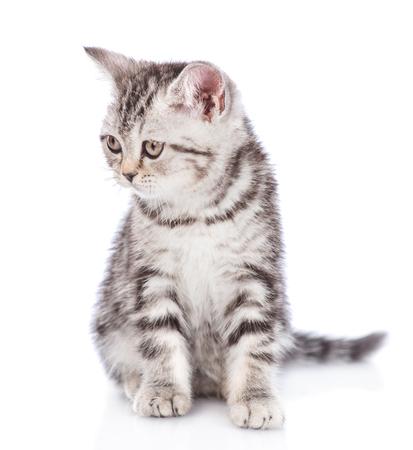 Scottish kitten looking away. isolated on white background.