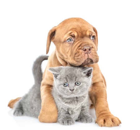 Cute Mastiff puppy embracing gray kitten. isolated on white background.