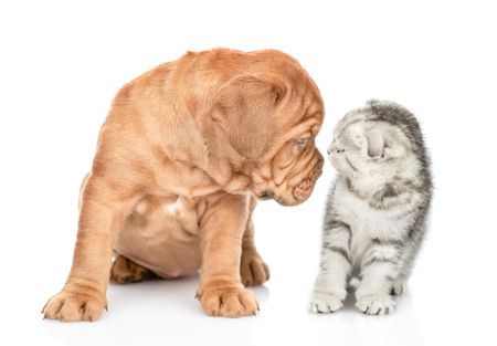 Mastiff puppy sniffing tabby kitten. isolated on white background.