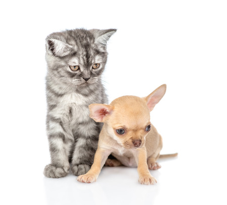 Tabby kitten and chihuahua puppy looking down and away. Isolated on white background. 版權商用圖片