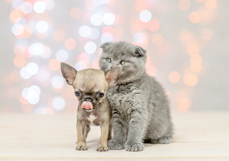 Licking lips Chihuahua puppy with gray kitten on festive background.