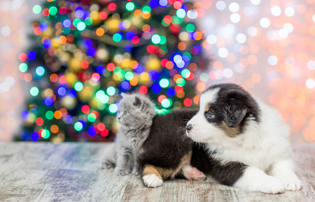 Australian shepherd puppy and baby kitten together in profile with Christmas tree on background and looking away. Empty space for text.