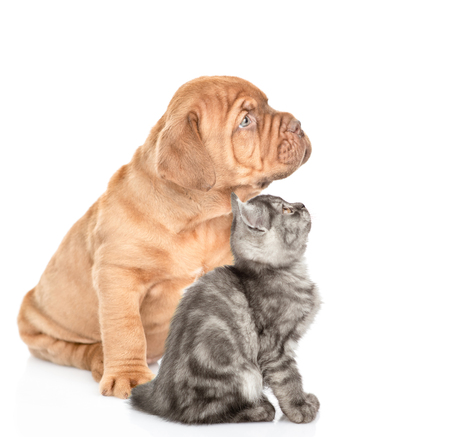 Mastiff puppy and tabby kitten sitting in profile and looking up. isolated on white background.