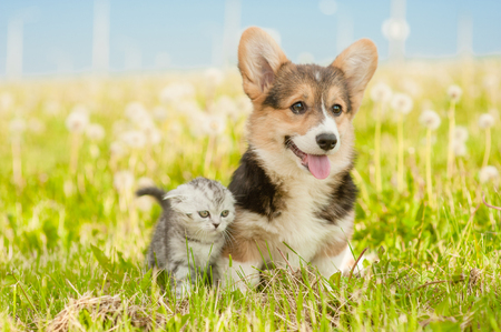 Pembroke Welsh Corgi cachorro y gatito atigrado de pie juntos sobre un césped de verano.