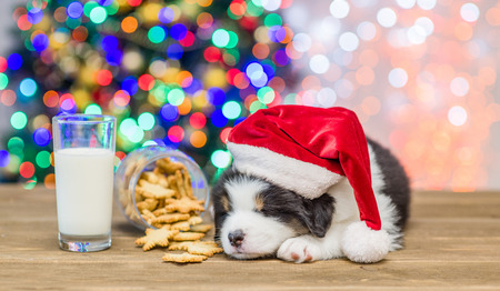 Australian shepherd puppy in red santa hat and eyeglasses sleeping near cookies and glasses of a milk with Christmas tree on background.