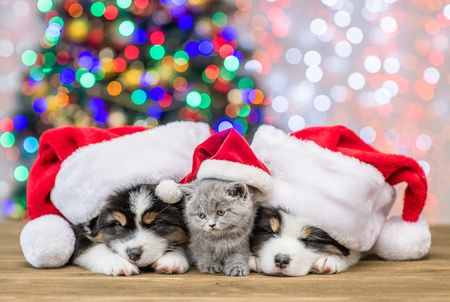 Sleepy Australian shepherd puppies and baby kitten in red santa hats together with Christmas tree on background.