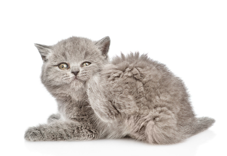 Baby kitten scratching. isolated on white background.