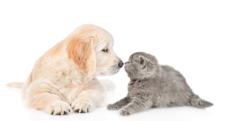 Golden retriever puppy sniffing kitten.  isolated on white background.
