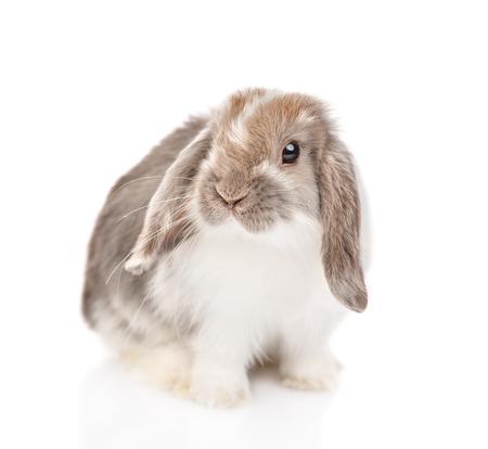 Hängeohriges flauschiges Kaninchen, das Kamera betrachtet. isoliert auf weißem Hintergrund.
