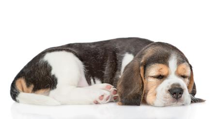 Schlafender Beagle-Welpe in der Seitenansicht. isoliert auf weißem Hintergrund.