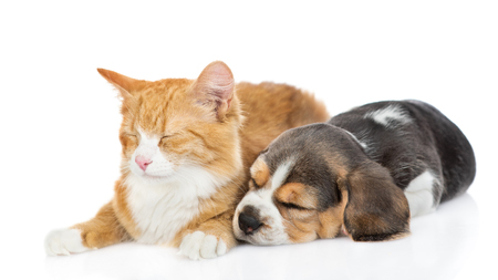 Beagle puppy sleeping with cat. isolated on white background.