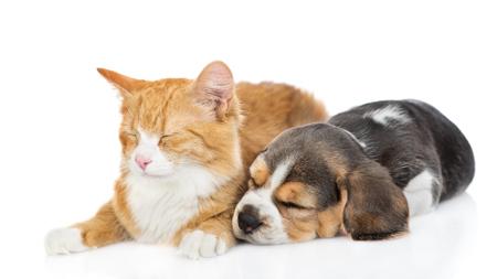Beagle-Welpe, der mit Katze schläft isoliert auf weißem Hintergrund.