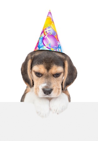 Beagle puppy in birthday hat above white banner looking down. isolated on white background.