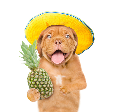 Funny dog with summer hat and pineapple. isolated on white background. Imagens