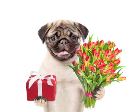 Pug puppy with a bouquet of tulips and gift box. isolated on white background.