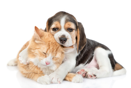 Beagle puppy chews cats ear and hugs his. isolated on white background. Stock Photo