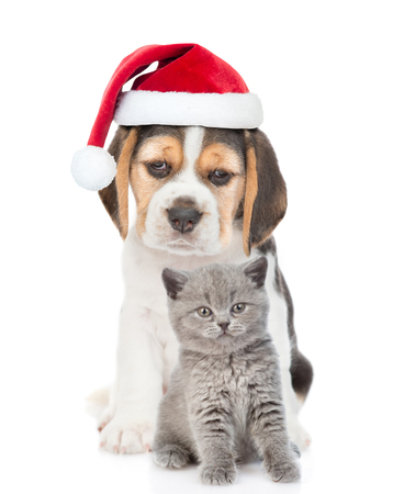 Beagle puppy with gray kitten in red christmas hat. isolated on white background.