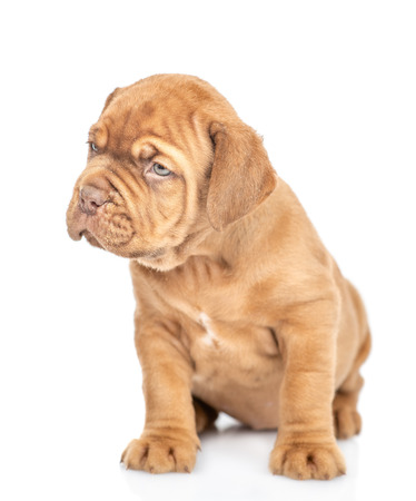 Mastiff puppy sitting and looking away. isolated on white background.