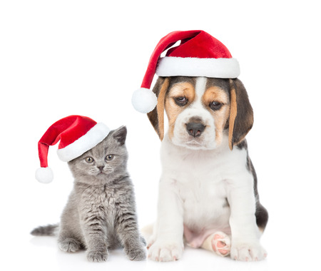 Beagle puppy and gray kitten in red christmas hats sitting together. isolated on white background.