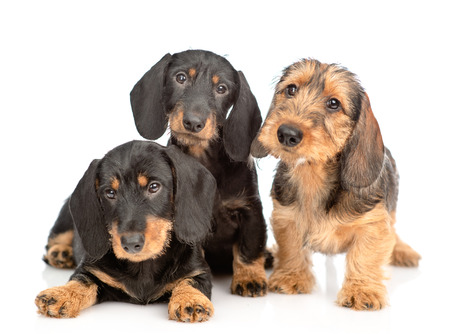 Three Dachshund puppies looking at camera together. isolated on white background.