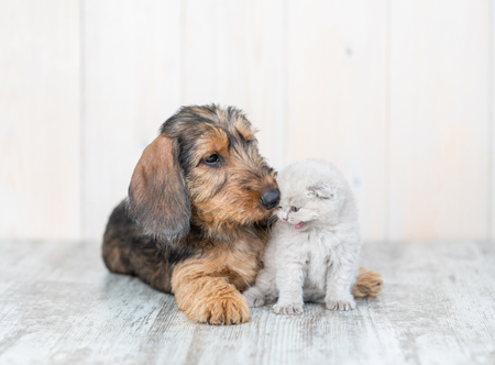 Dachshund puppy embracing kitten on the floor.