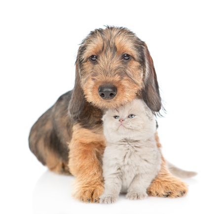Sad dachshund puppy embracing gray kitten. isolated on white background. Stock Photo