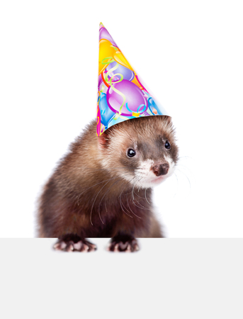 Ferret in party hat above white banner. isolated on white background.
