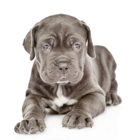 Neapolitan mastiff puppy lying in front view and looking at camera. isolated on white background.