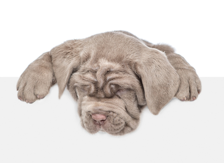 Mastiff puppy above empty white banner looking down. isolated on white background. Empty space for text. 版權商用圖片