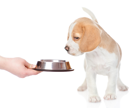 Beagle puppy sniffing bowl with food. isolated on white background. Imagens