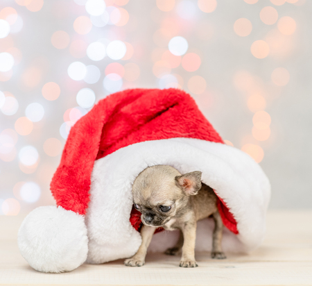 Baby chihuahua puppy under big reg christmas hat on festive background.