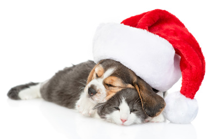beagle puppy in red christmas hat sleeping and hugging adult cat. isolated on white background.