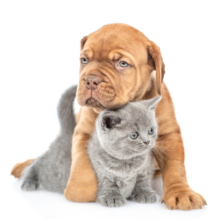 Mastiff puppy hugging gray kitten. isolated on white background.