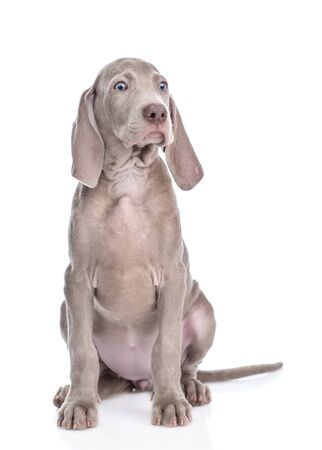 Weimaraner puppy sitting in front view and looking at camera. isolated on white background.