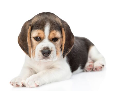 Little beagle puppy lying at looking at camera. isolated on white background. Stock fotó