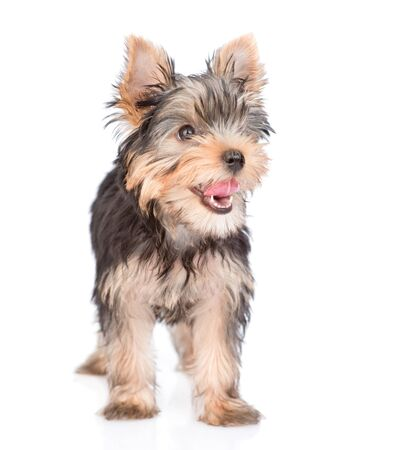 Yorkshire Terrier puppy standing in front view and looking away. isolated on white background.