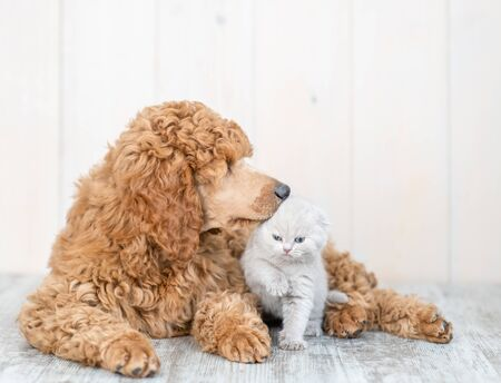 Poodle puppy sniffing baby kitten lying together on the floor at home.