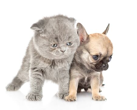 Newborn kitten and chihuahua puppy looking away together. Isolated on white background.