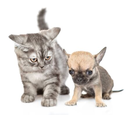 Chihuahua puppy an tabby kitten sitting together. Isolated on white background. 스톡 콘텐츠