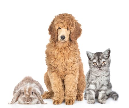 Cat, dog and rabbit sitting together in front view. Isolated on white background.