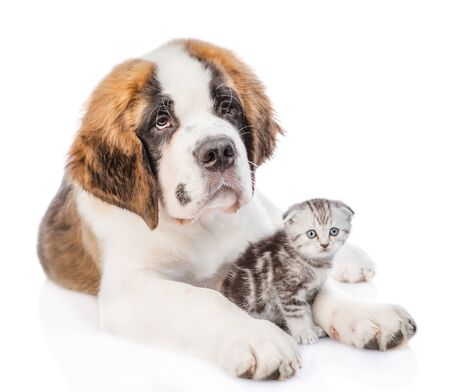 Saint Bernard puppy with baby kitten. isolated on white background.